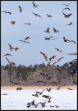 Black Kites (Bruna glador) and some Eagles gather in the morning at Lake Furen