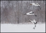 Snow crane family arriving to Akan