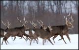 Sika Deers at Akan Crane center