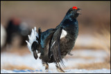 Finally - It`s springtime!! Black Grouse lekking after a long winter