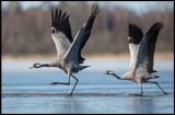 Cranes (tranor) running on ice / water - Lidhemssjön