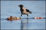 Hooded Crow on frozen carrion (Gråkråka) - Lidhemssjön
