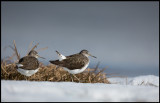 Newly arrived Green Sandpipers (skogssnäppor) playing at the ice - Lidhemssjön