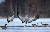 Cranes and geese at dawn - Lidhemssjön