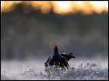 The very last frosty morning this year at the Black Grouse lekking place