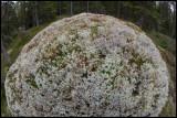 Stone covered with lichen - Västmanland