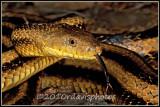 Yellow Rat Snake (Elaphe obsoleta quadrivittata)