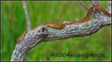 Corn Snake (Elaphe guttata guttata)
