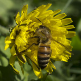 Pollen Collector at Work (Oct)