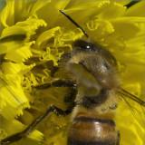 Pollen Collector at Work 100% (Oct)