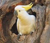 Sulphor-crested Cockatoo in nest