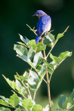 Bluebird looking back