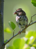 Sparrow with meal