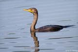 Floating Cormorant