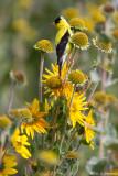 Goldfinch in field