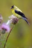 Eating thistle