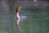 Feeding Cormorant 8