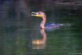 Feeding Cormorant 9