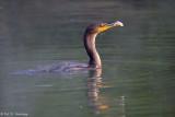 Feeding Cormorant 5