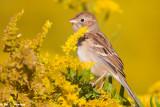 Sparrow on yellow