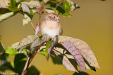 Field Sparrow at rest