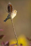 Perched on teasel