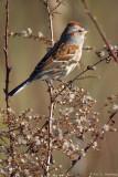 Tree Sparrow in sun