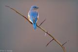Bluebird from behind