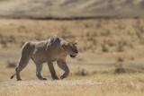 Tanzania 2012 Ngorongoro Lion Kill