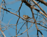 Hume´s warbler