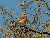 Isabelline shrike male