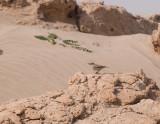 Persian wheatear