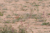 Bar-tailed lark