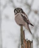 Hawk Owl ( Hökuggla )
