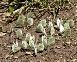 Cabbage Butterflies Mudding