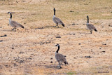 Four Geese on Dry Grass - z IMG_1461