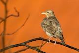 Roze spreeuw/Rosy starling
