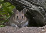 Yellow-necked Mouse - Halsbåndsmus - Apodemus flavicollis