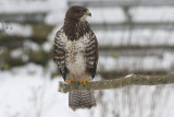 Common Buzzard- Musvåge Buteo buteo