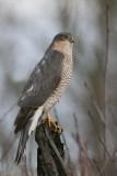 Sparrowhawk - Spurvehøg - Accipiter nisus