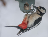 Great Spotted Woodpecker - Stor Flagspaette - Dendrocopos major
