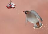 DANISH BIRDS 2012