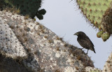 Common Cactus-Finch - Geospiza scandens ssp. intermedia
