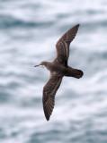 Galapagos Shearwater (Puffinus subalaris)