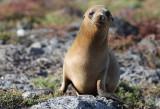 Galápagos Sea Lion - (Zalophus wollebaeki)