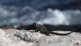 Marine Iguana - Amblyrhynchus cristatus ssp. hassi