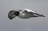 Swallow-tailed Gull (Creagrus furcatus)