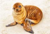 Galápagos Sea Lion Pup