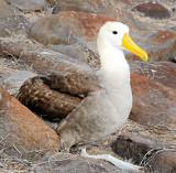 Waved Albatros