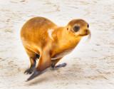 Sea Lion in Flight